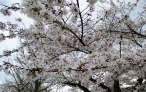 桜を見に…